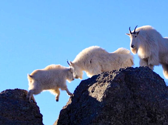 Tushar Mountain Goats