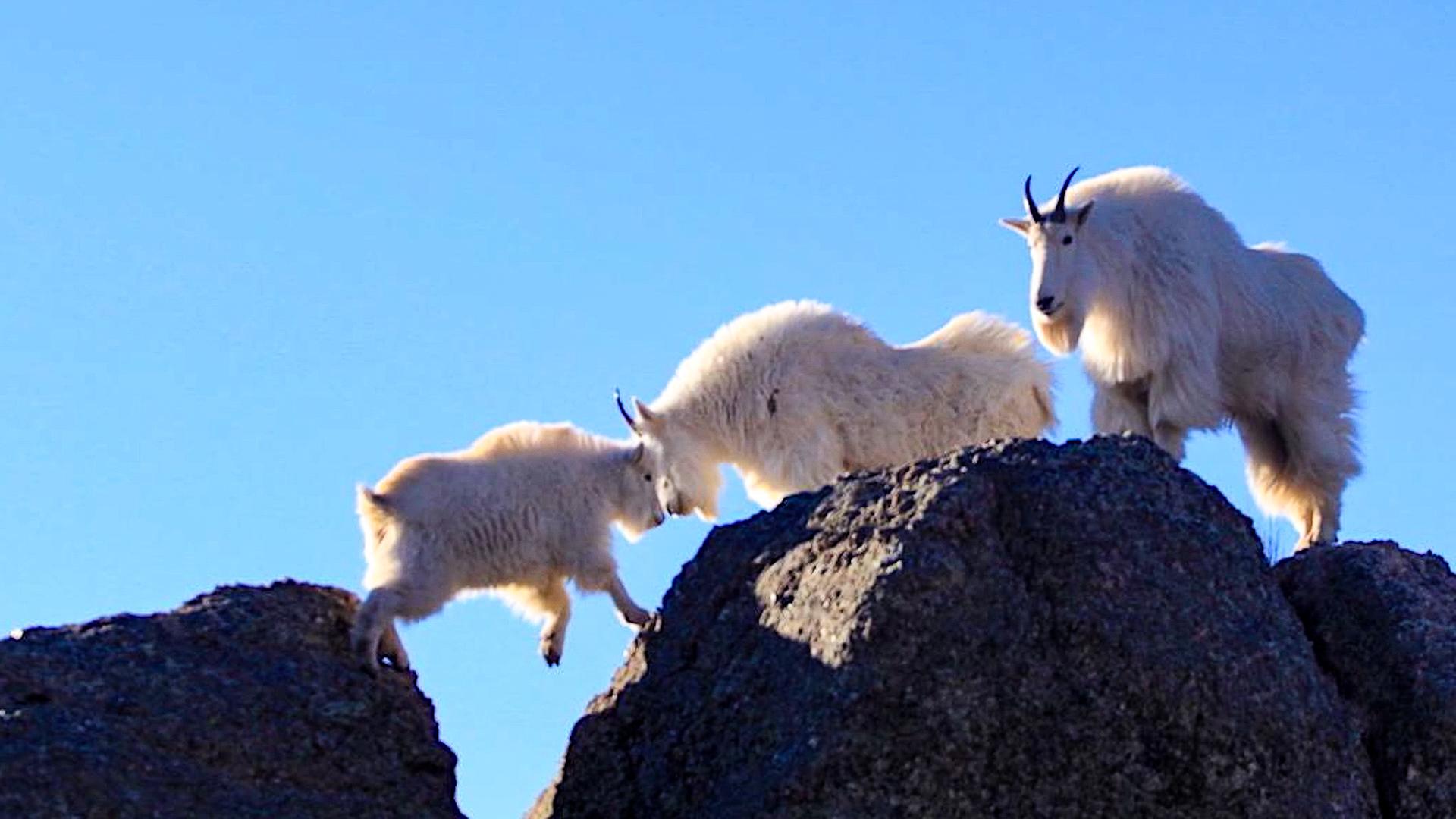 Tushar Mountain Goats