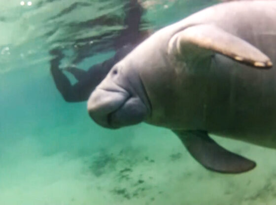 Florida Manatee Swim